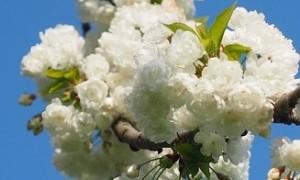 cherry-blossom-1260647_960_720[1]
